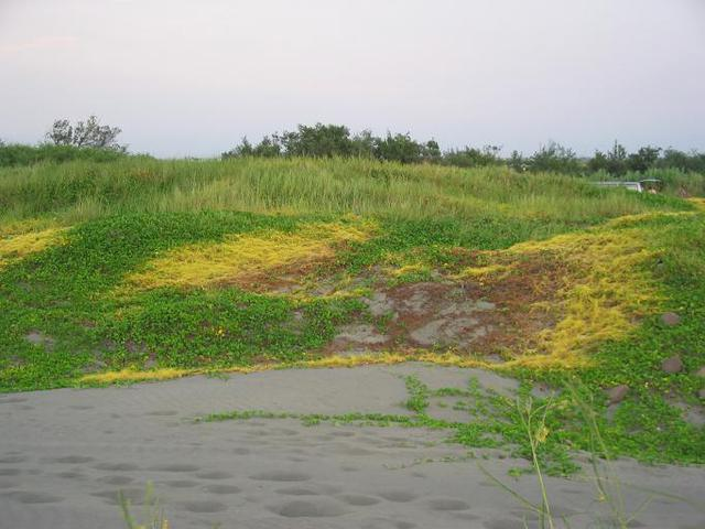 MG_0504以馬鞍藤為主的綠色植物是定沙功臣_但黃色的寄生植物菟絲仔也一面吮乾牠們的生命_這是一場植物世界的角力.JPG