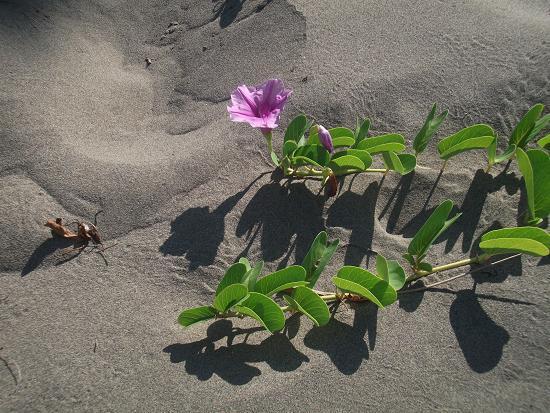 DSCF6904蔓延吧, 馬鞍藤!體驗過護沙之後_對於耐鹽分的定沙植物會油然升起一股疼惜與敬意