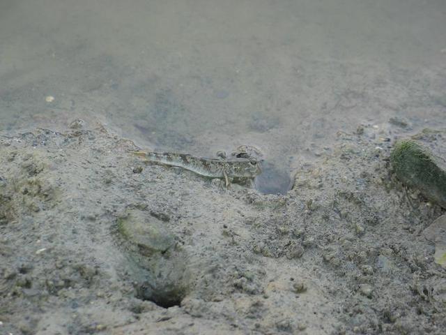 IMG_0584沒想到就在馬路旁邊緊鄰的潮溝可以看到彈塗魚.JPG