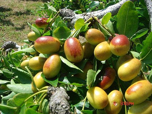 紅棗樹 攝影相片分享 Pchome Online 網路家庭 開講