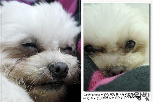 寵物迷-專利護眼錠含有葉黃素可幫助狗狗保護眼睛