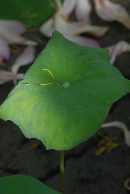 M's - 陽風蓮花